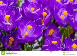 fiori viola fiori viola croco fotografia stock immagine di abbastanza