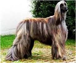 afghan hound lifespan afghan hound breed