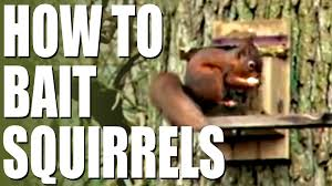 How To Hunt Squirrels In Your Backyard by How To Bait Squirrels Youtube