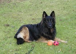 australian shepherd 9 monate best 20 altdeutscher schäferhund ideas on pinterest belgische