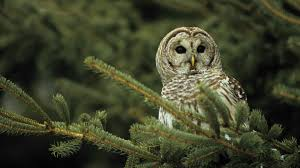 barred owl background wallpapers 20684 baltana