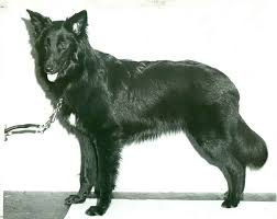 belgian shepherd new york belgian sheepdog history u0026 training temperament