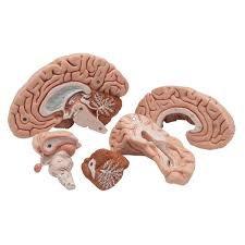 Human Anatomy In Pdf Anatomical Model Of Brain In 5 Parts
