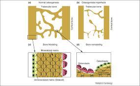 Normal Bone Anatomy And Physiology Chaperoning Osteogenesis New Protein Folding Disease Paradigms