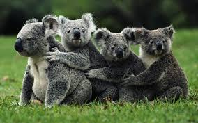 koala pictures qygjxz