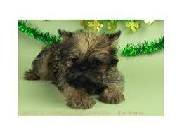 affenpinscher vs brussels griffon brussels griffon puppies for sale petland blue springs pet store