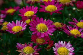 purple daisies flowers free nature pictures by forestwander