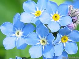 light blue flowers undefined blue flowers images wallpapers 36 wallpapers