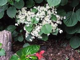 Non Invasive Climbing Plants - mutiny in the garden climbing hydrangea what you should know