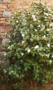 the graceful gardener camellias u0027winter roses u0027 in my garden u2026