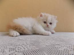 beautiful best quality persian kittens available at aaskar pets