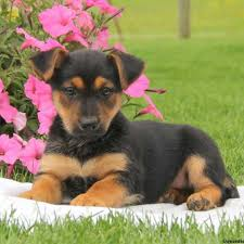 belgian sheepdog puppies for sale in michigan miniature german shepherd puppies for sale in pa