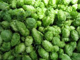 growing hops at home for brewing beer