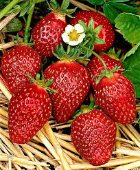 buy strawberry plants online bakker com