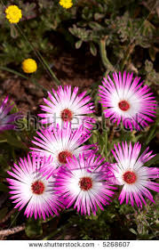 South African Wild Flowers - south african wildflowers west coast national park exotic