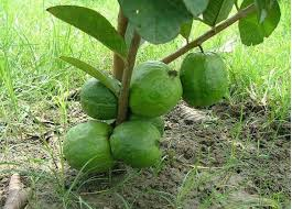 how to grow guava tree 6594