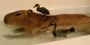 ducklings and their capybara friend have the cutest bath ever