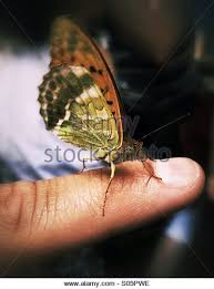butterfly on finger stock photos butterfly on finger stock