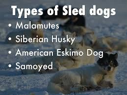 types of american eskimo dogs sled dogs by sydney mahoney