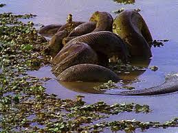vidio film ular anaconda breeding ball