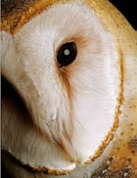 Where Does The Barn Owl Live Eyes On Owls Live Owl Programs