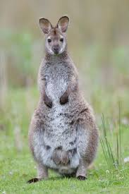 36 best tasmanian wallabies images on pinterest kangaroos