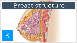 Female Breast Anatomy And Physiology Thebreast Website Inspiration Anatomy Of Female Breast At Best