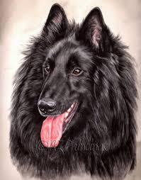 belgian sheepdog breeders uk 543 best images about felines canines u0026 others on pinterest