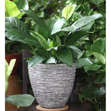 peace lily potted air purifying spathiphyllum wallisii peace lily large