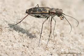 file lophyra sp tiger beetle edit1 jpg wikipedia