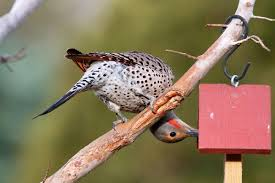 northern flicker audubon field guide