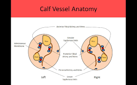 Foot Vascular Anatomy Ultrasound Registry Review Extremity Venous