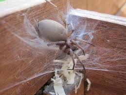 cobweb spray for halloween when you discover incy wincy is really a false widow spider