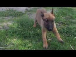 belgian sheepdog for sale dream 10 week old belgian shepherd malinois puppy for sale youtube