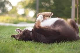 w lazy j australian shepherds puppies quickbeam working australian shepherds