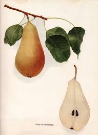pear home decor hand colored lithograph victorian era print pears flora