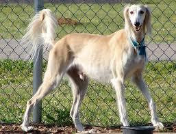 belgian shepherd golden retriever mix saluki all big dog breeds