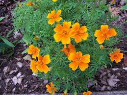 Marigolds Shade by Marigolds Attracts Hummingbirds And Butterflies Hummingbirds