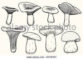 champignon mushroom illustration drawing engraving line art