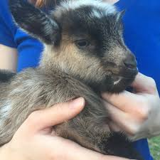 goat whisperer u0027s u0026 sbc u0027s kidding thread eclipse kids page 98