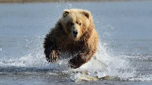 Animal Planet Documentary Grizzly Bears Full Documentaries - how to survive a bear attack brown bears black bears and polar