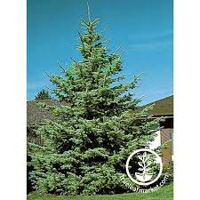 blue spruce trees tree seed kit colorado blue spruce trees