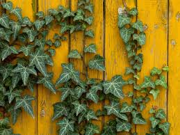 6 impressive benefits of ivy organic facts