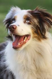 australian shepherd history australian shepherd t this has a description of the breed and