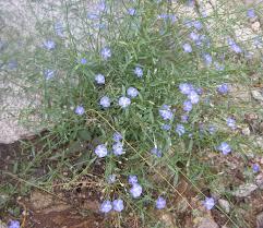 native desert plants evolvulus arizonicus u2013 arizona blue eyes dwarf wild morning glory