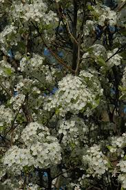chanticleer ornamental pear pyrus calleryana chanticleer in