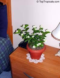 Indoor Fragrant Plants - jasminum sambac toptropicals com