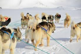 greenland dog sled tours by pirhuk greenland expedition specialists