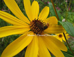 african native plants hoe and shovel swamp sunflower