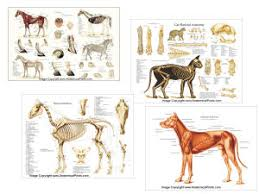 Dog Anatomy Poster Chiropractic Anatomical Charts And Posters